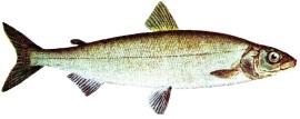 Die Reinanke gehört zur Gattung Coregonus Quelle: gemeinfrei